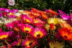 Färgrika blommor i den Akureyri botaniska trädgården Royaltyfria Bilder