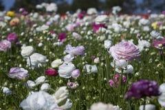 Färgrika blommor i fält Royaltyfria Bilder