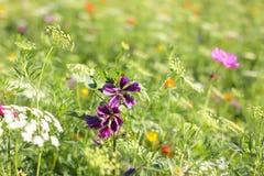Färgrika blommor i fält på fjädern Royaltyfria Bilder