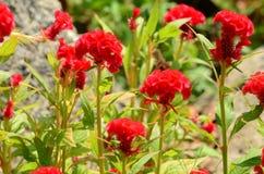 Färgrika blommor i natur ljus cockscomb blommar red Arkivfoto