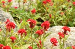 Färgrika blommor i natur ljus cockscomb blommar red Royaltyfria Bilder