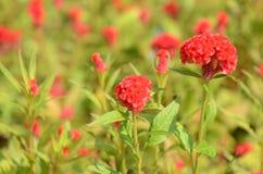 Färgrika blommor i natur ljus cockscomb blommar red Fotografering för Bildbyråer