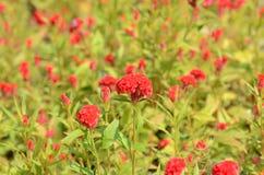 Färgrika blommor i natur ljus cockscomb blommar red Royaltyfri Bild