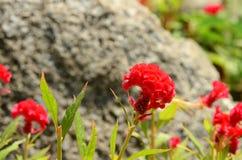Färgrika blommor i natur ljus cockscomb blommar red Arkivbilder