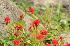 Färgrika blommor i natur ljus cockscomb blommar red Royaltyfria Foton