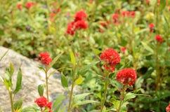 Färgrika blommor i natur ljus cockscomb blommar red Royaltyfri Foto