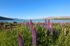 färgrika blommor Lupinuspolyphyllus med sjön Tekapo och sydliga fjällängar på bakgrund, södra ö, Nya Zeeland arkivbilder