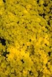 färgrika chrysanthemums Royaltyfria Bilder