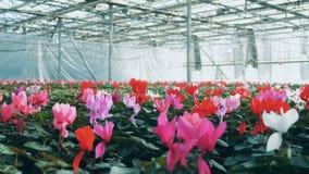 Färgrika cyclamens som växer i rabatter i ett växthus, agronomical bransch arkivfilmer