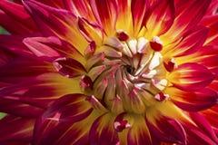 Färgrika Dahlia Flower Arkivbild