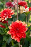 Färgrika dahliablommor i sommarträdgård royaltyfria foton