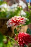 Färgrika dahliablommor i sommarträdgård royaltyfri foto