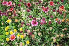 Färgrika dekorativa blommor på sommaräng Royaltyfri Bild