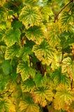 färgrika druvaleaves för höst Royaltyfri Foto