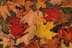färgrika fallleaves Royaltyfri Foto