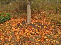 färgrika fallleaves Royaltyfri Fotografi