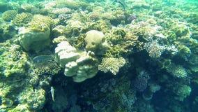 Färgrika fiskar och koraller stock video