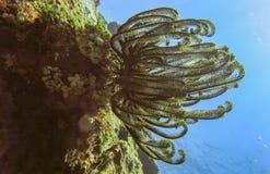 Färgrika fjäderstjärnor Comatulida Härligt havsdjur med många tentakel royaltyfri fotografi