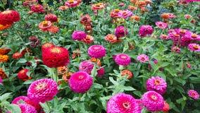 färgrika gerbearatusenskönor som blommar i en trädgård Arkivfoto