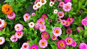 färgrika gerbearatusenskönor som blommar i en trädgård Royaltyfri Fotografi