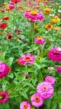 färgrika gerbearatusenskönor som blommar i en trädgård Royaltyfri Bild
