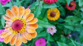 färgrika gerberatusenskönor som blommar i en trädgård Royaltyfria Bilder