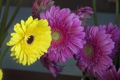 färgrika gerbers Royaltyfria Bilder