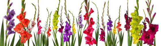 Färgrika gladiolablommor arkivfoton
