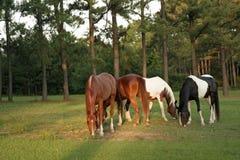 färgrika grazers Arkivbilder