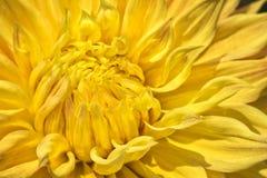 Färgrika gula Dahlia Flower Royaltyfria Bilder