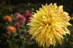 Färgrika gula Dahlia Flower Garden Royaltyfri Bild