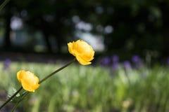 Färgrika gula jordklot-blommor med gröna sidor Grönt blured gräs arkivbild