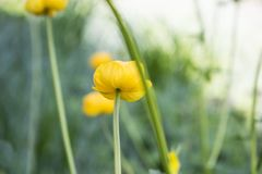 Färgrika gula jordklot-blommor med gröna sidor Grönt blured gräs arkivfoton