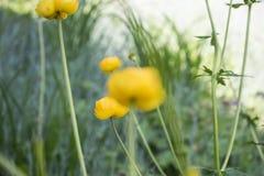 Färgrika gula jordklot-blommor med gröna sidor Grönt blured gräs royaltyfria bilder