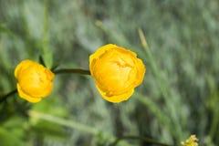 Färgrika gula jordklot-blommor med gröna sidor Grönt blured gräs royaltyfri fotografi