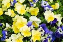 Färgrika gula och blåa pensies som blommar i trädgården Royaltyfria Foton