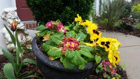 Färgrika gula pansies, nyanserade tulpan och rosa färgprimulor med pannastatyn i planter Royaltyfri Bild