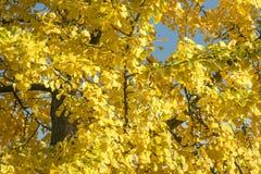 Färgrika gula sidor av Ginkgobilobaen i höst arkivfoto