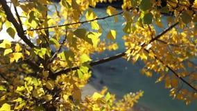 Färgrika guld- Autumn Leaves lager videofilmer