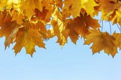 Färgrika guld- gula höstsidor royaltyfria bilder