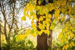 Färgrika gulingsidor i höst royaltyfri bild