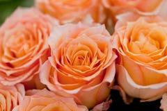 Färgrika härliga rosor blommar bakgrund för makrocloseupkortet Arkivbilder