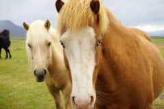 Färgrika hästar på fältet Royaltyfria Bilder