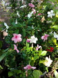Färgrika hibiscusblomningar royaltyfri foto