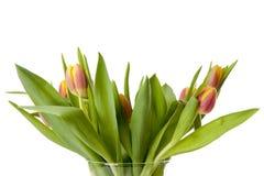 Färgrika holländska tulpan i closeup Royaltyfri Fotografi
