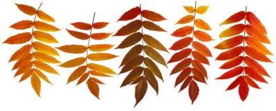 färgrika isolerade leaves för höst Arkivbild