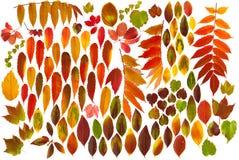färgrika isolerade leaves för höst Royaltyfri Foto