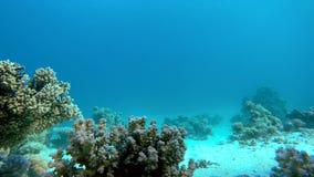 Färgrika koraller exotiska fiskar Korallblommor arkivfilmer