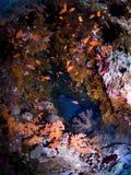 färgrika koraller för grotta Royaltyfri Fotografi