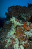 färgrika koraller maldives revar slappt Arkivbilder